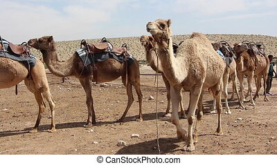 camel caravan