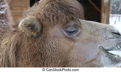 Camel chewing hay on a winter background, close-up
