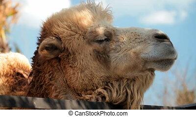 Camel - Close-up of a camel head