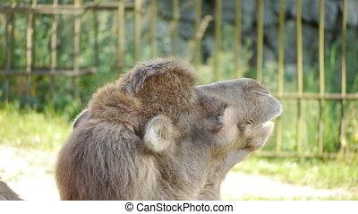 Camel. close-up