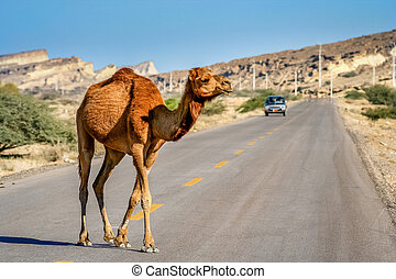 Camel crossing the road on the Queshm Island, Persian Gulf,...