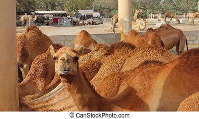 Camel farm in bahrain