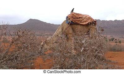 Camel feeding on dry thorny grass - Camel eating dry thorny...