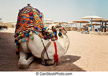 camel for tourist traffic on the beach in Hurghada, Egypt, sleeps