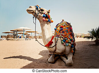 camel for tourist trips is in the sand on the beach in Egypt