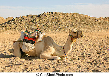 Camel have a rest in desert - Camel on the background of the...