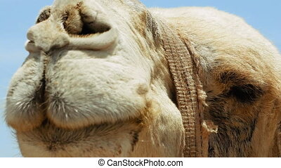 Camel head closeup outdoors. Camels are pack animals widely...
