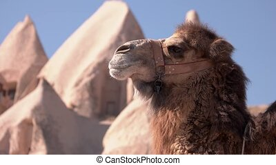 Camel head portrait. Beautiful animal with blue sky on the background.