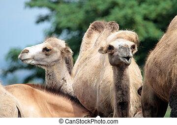 Camel heads