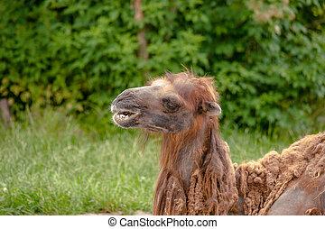 Camel headshot on natural surroundings - High resolution...