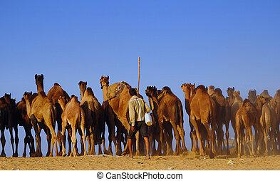 Camel herding in Pushkar fair - PUSHKAR, INDIA - NOVEMBER 7:...