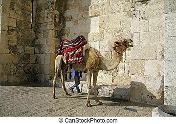 camel in jerusalem