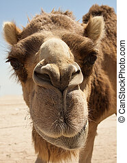Camel in the desert of Bahrain