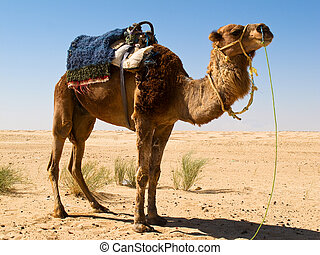 Camel in the Sahara - Camel in the background of the desert
