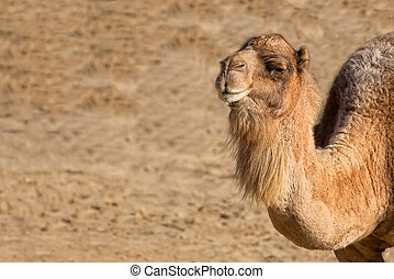 Camel in the wild