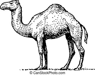 Camel standing half face on white background