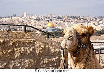 Camel Jerusalem