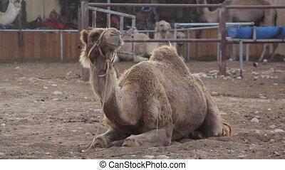 Camel kneel - Shot of Camel kneel