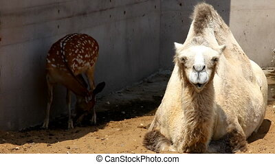 Camel lie on sand in zoo