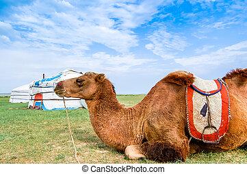 Camel lying in front of yurt, Mongolia