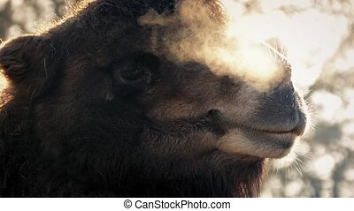 Camel Misty Breathing In The Cold