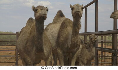 Camel mothers and calves, Northern Territory - Close-up...