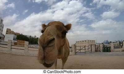 camel nose close up - Camel nose close up for a kiss in Doha...