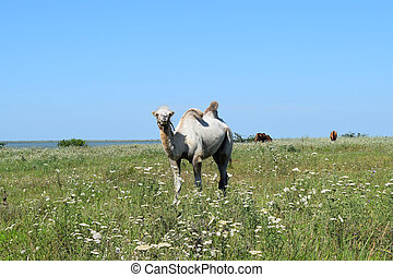Camel on a pasture. Animals on private farm.