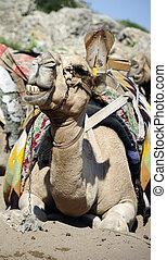 Camel On Beach - Camel sitting under bright sunlight on...