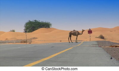 camel on desert street heat haze