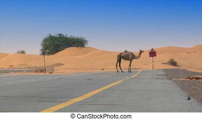 camel on desert street heat haze