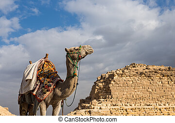 Camel on Giza Pyramids background in Egypt