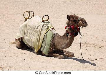 Camel on the beach in Dubai, United Arab Emirates