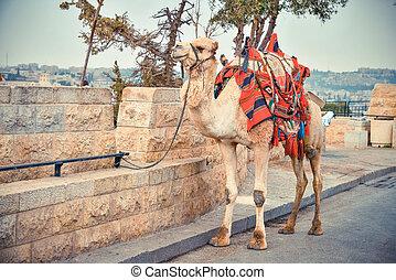 Camel on the road near Old City of Jerusalem - Camel tied to...