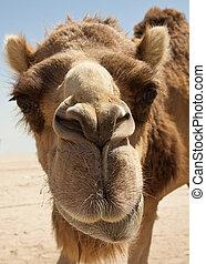 Camel in the desert of Bahrain