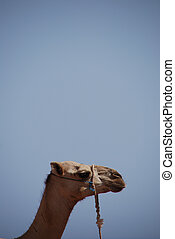 camel portrait format - camel on the beach on holiday in ...