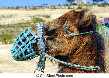 Camel - Portrait of a camel for tour