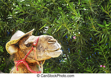 Camel - Portrait of a camel for tour with hat