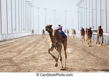 Camel race in Doha, Qatar, Middle East