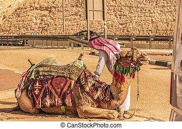 Camel ready to start the trip. Judaean desert - Camel...