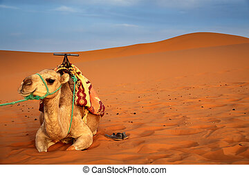 Camel resting among the sand dunes
