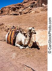 Camel rests in Sinai desert, Egypt - Close up resting animal...