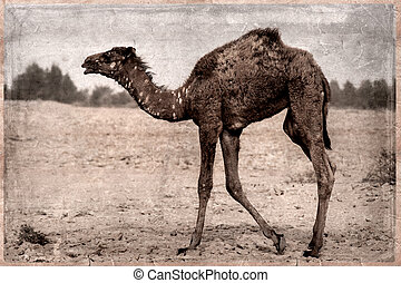 Camel - retro -Old Postcard style