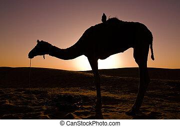 Camel silhouette at sunrise