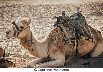 camel sitting on the sand