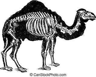 Camel skeleton, vintage engraving.