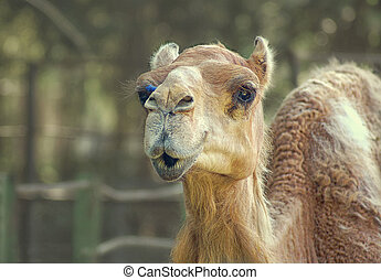 Camel smiling look alike at zoo
