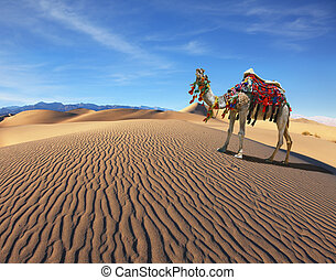 Camel Song. Dromedary yells at the sand dunes. Dromedary...