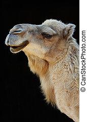 camel on black