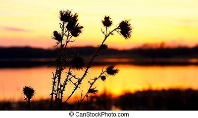 camel thorn on background of sunrise sunset, sun landscape -...